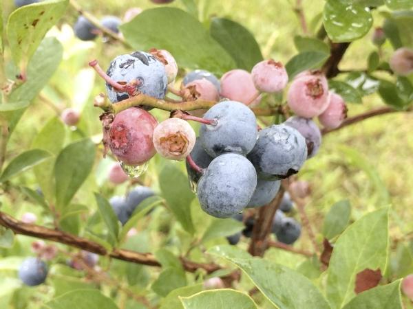 Blueberries Are Beautiful Shrubs Too Salisbury Post Salisbury