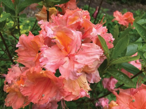 Rhododendrons Can Be Fussy But Always Beautiful Salisbury Post